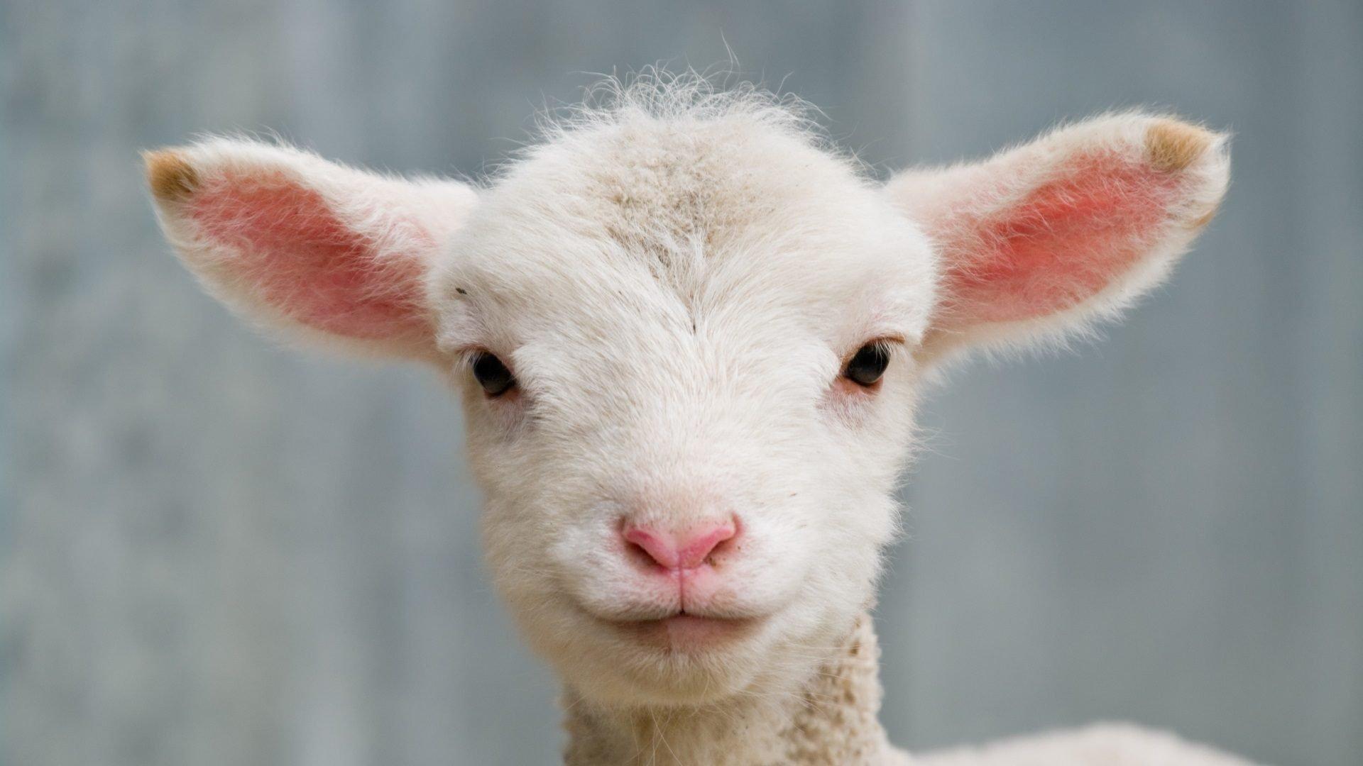Lambing Spring